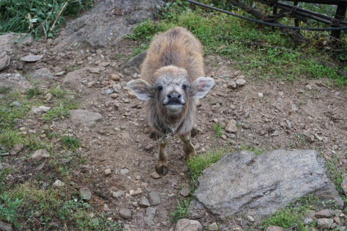 Ein glückliches Wasserbüffelkälbchen in der Annapurna Conservation Area - hier wird es nicht gegessen werden!